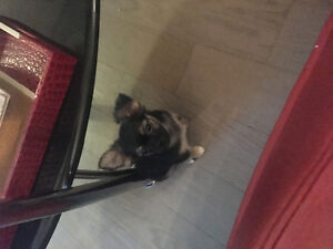 Adorable Chihuahua Puppies for sale long and short hair