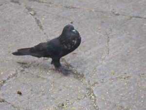 Pigeons Kitchener / Waterloo Kitchener Area image 1