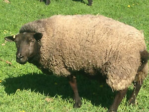 Sheep for sale-Ewes