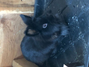 2 year old female Lionhead rabbit