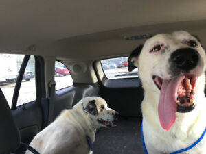 LUCKY & ROCKY 5 years old, Shepherd Texas Rescues for adoption