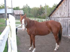 5 YEAR OLD QUARTER HORSE