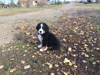 Bernise Mountian dog puppies for sale