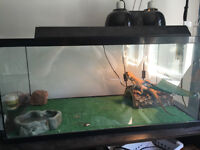 1 Year Old Bearded Dragon (Yellow Tiger) and all equipment