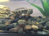Turtle + tank, heater, food, filter, decor