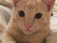 Loving Orange male cat