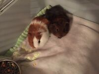 2 Baby guinea pig 2 month old male