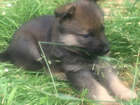 German Shepherd Puppy For Sale (Female)