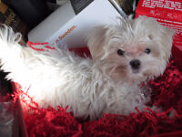 Trying to find a wonderful home for my 3yr old maltese!!!