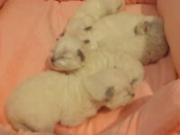 We are accepting deposits on our Ragdoll babies born May 3!!