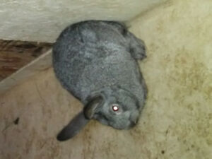 Champagne de L'Argent/Flemish Rabbits for sale