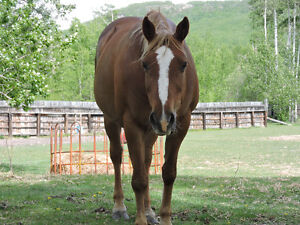 AQHA Registered mare for sale