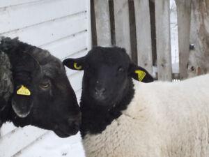 Agneau Bélier Mouton DORPER