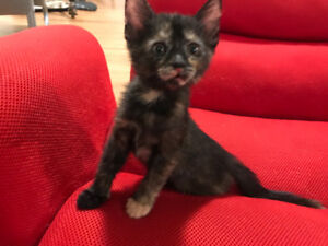 2 months old tortoiseshell kittens for sale