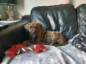 Male mastiff puppy