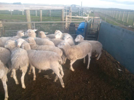 Dorper Wether Lambs for sale