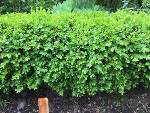 FS: Boxwood plants