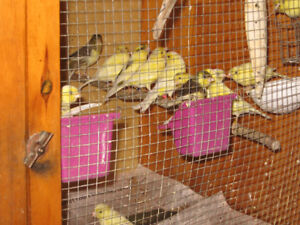 Lovely  Singing Canaries