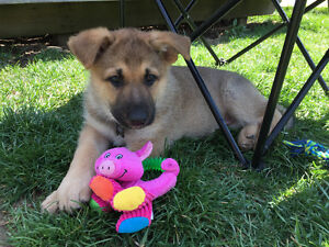 Looking for young pups to Socialize/Play with our 8 week GSD