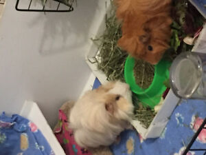 2 adorable guinea pigs look for a loving home