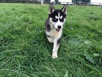 Our last Husky puppy