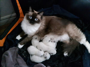 Adorable Ragdoll kittens will be ready for July!