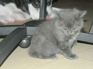 PUREBRED Himalayan Kittens for sale The solid