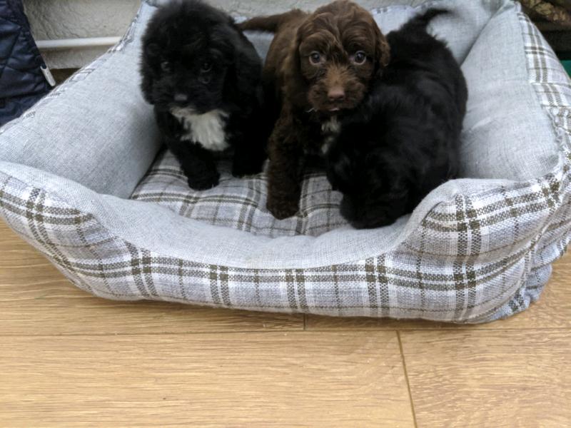 Sproodle Puppies English Springer Spaniel X Toy Poodle Chocolat Black In Bridgend Gumtree