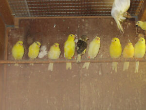 Yellow Canaries.