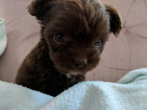 Teacup toy poodle cross