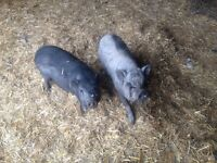 4 mini pigs and buckling goat