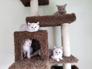 ❤️ British Shorthair Kittens ❤️