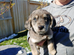 Catahoula puppies