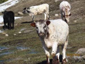 """""""Grassers"""": Last years calves to finish"""