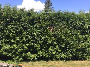 Professional hedge trimming and pruning Kingston Kingston Area image 4