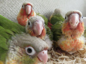 **NEWLY HATCHED BABY PINEAPPLE CONURES**ONLY 1 LEFT TO RESERVE**