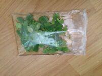 Bag Of Aquarium Water Lettuce £5