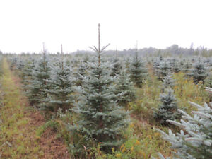 Blue Spruces, White Spruces, Red,White Pines, from tree farm