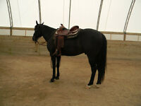 11 year old Appendix QH Gelding for Lease/board