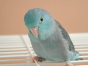 ❤️Baby⭐Parrotlets Available with Cage❤️