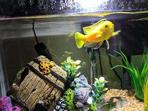 Medium Yellow Lab Cichlids