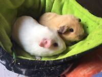 Californian and self Guinea pig brothers