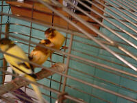 Orange and Brown Male Singer Canaries - 4 months old - reduced