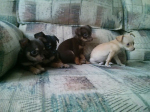 Chihuahua Puppies (Females Left)