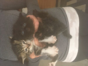 Urgent 2 Munchkin kittens need home tonight only $50ea!