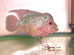 Cencu Flowerhorn for sale