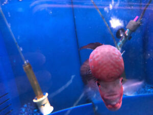 Flowerhorn Discus Fish Salt Water Fish Cichlids Arowana Angel