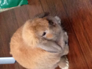Holland lop bunny and cage