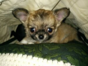 Cutest Chihuahuas for that Special Christmas