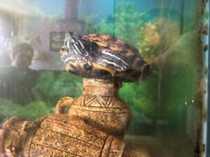 Two adult red ear slider turtles for adoption